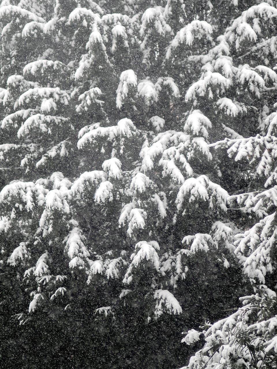 Karsten Rohrbeck: Schnee auf Tanne im Januar 2015