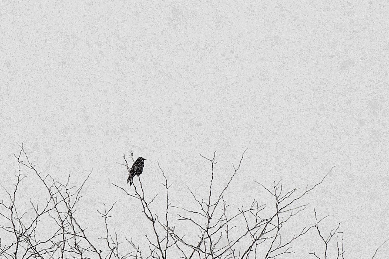 Karsten Rohrbeck: Vogel im Schnee, Januar 2015
