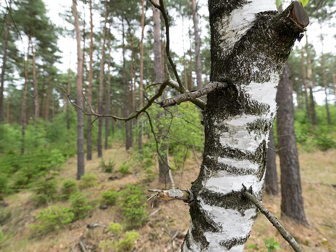Karsten Rohrbeck: Teufelsheide (Detail VII, Ast vorm Wald)