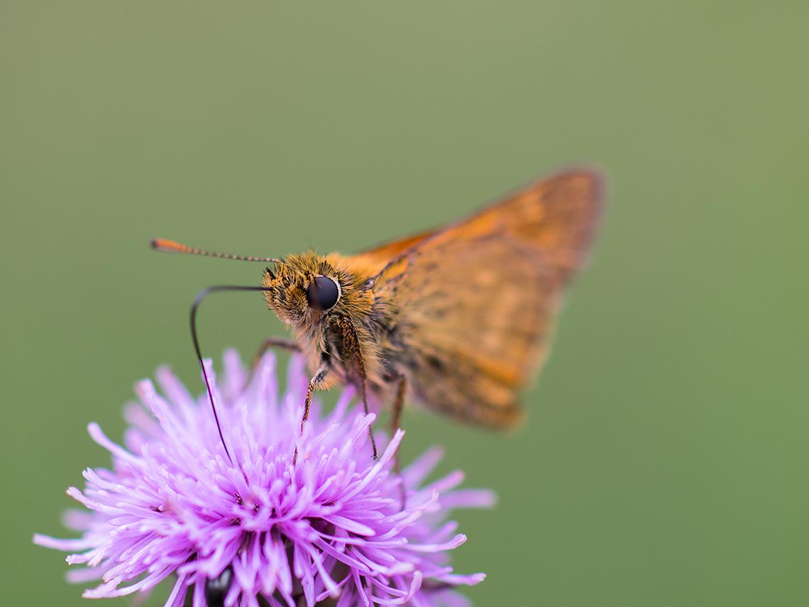 Karsten Rohrbeck: Schmetterling trinkt aus Blüte (Teufelsheide)
