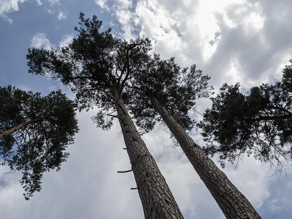 Karsten Rohrbeck: hohe kahle Bäume in der Teufelsheide