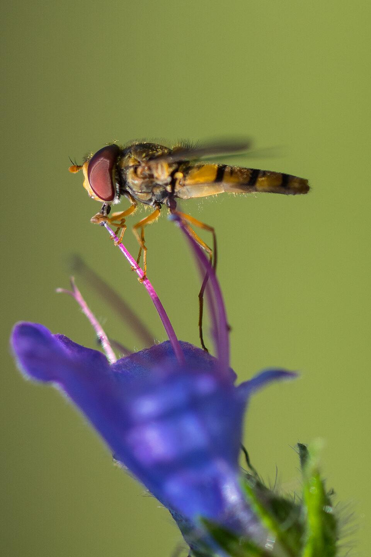 Karsten Rohrbeck: Schwebfliege trinkt aus Blüte (Teufelsheide)