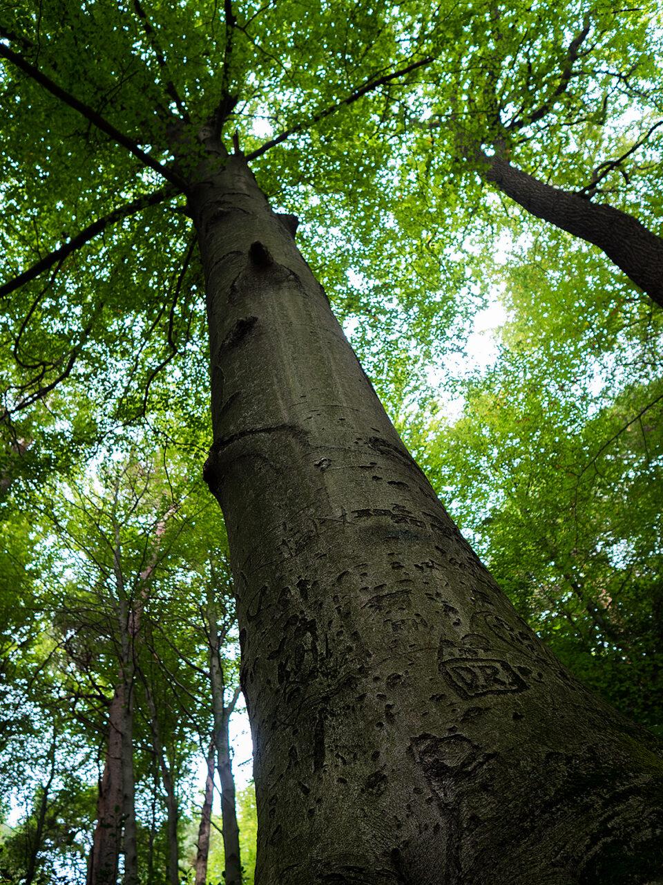 Karsten Rohrbeck: Buchen-Baum im Bensberger Wald
